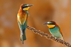 在分支的欧洲食蜂鸟夫妇 库存照片