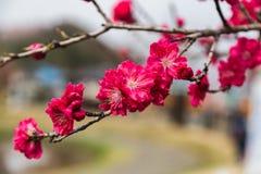 在分支的深桃红色的李子开花 库存照片