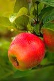 在分支的湿红色苹果 免版税库存照片