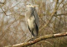 在分支的灰色苍鹭Ardea灰质的开会高在树 库存图片
