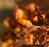 在分支的照片橡子与橡木叶子  免版税库存照片