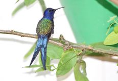 在分支的燕尾状蜂鸟 库存图片