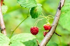 在分支的狂放的莓莓果 图库摄影