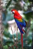 在分支的猩红色红色金刚鹦鹉 免版税库存图片