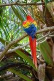 在分支的猩红色金刚鹦鹉背面图 免版税库存照片