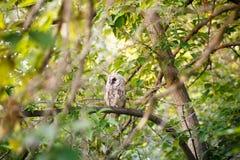 在分支的猫头鹰在森林里 免版税库存照片
