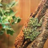 在分支的生苔青蛙Theloderma corticale 免版税库存照片