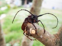 在分支的甲虫 免版税图库摄影