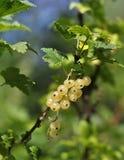在分支的白色无核小葡萄干莓果 库存图片