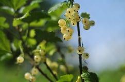 在分支的白色无核小葡萄干莓果 免版税库存图片