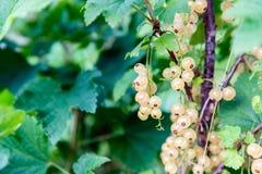 在分支的白色无核小葡萄干 库存图片