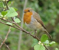 在分支的知更鸟与叶子 库存图片