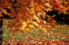 在分支的秋叶 图库摄影