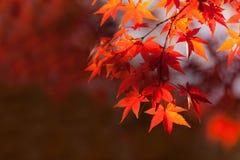在分支的秋叶 免版税图库摄影