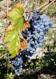 在分支的秋天葡萄 图库摄影