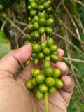 在分支的粗粒咖啡种子 免版税库存图片