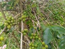 在分支的粗粒咖啡种子 图库摄影