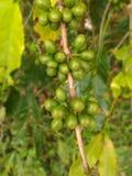 在分支的粗粒咖啡种子 免版税库存照片