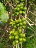 在分支的粗粒咖啡种子 库存图片