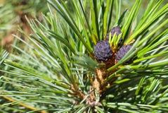 在分支的紫色杉木锥体 免版税库存图片