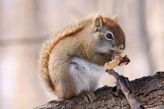 在分支的红松鼠 免版税库存图片