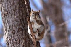 在分支的红松鼠 免版税库存照片