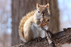 在分支的红松鼠 图库摄影
