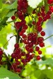 在分支的红浆果 免版税图库摄影