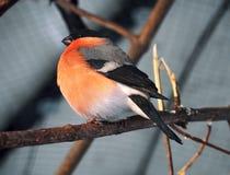 在分支的红腹灰雀在太阳 免版税库存图片