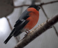 在分支的红腹灰雀橙色开会在12月 库存照片