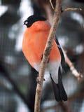 在分支的红腹灰雀用在额嘴的玉米 免版税库存图片