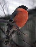 在分支的红腹灰雀骄傲的橙色开会在12月 图库摄影