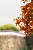 在分支的红色事假与常青树和扔石头的墙壁背景 库存照片