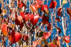 在分支的红色叶子 免版税库存照片