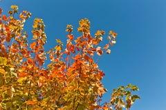 在分支的红色和橙色秋叶与蓝天 库存图片
