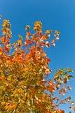 在分支的红色和橙色秋叶与蓝天 库存照片