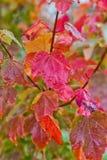 在分支的红色和橙色秋叶 免版税库存图片