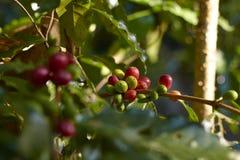 在分支的红色咖啡樱桃 在白色的豆早餐咖啡理想的查出的宏指令 图库摄影
