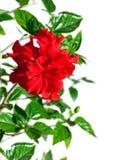 在分支的红色庭院花木槿与绿色叶子 免版税库存照片