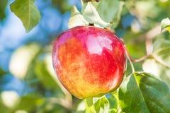 在分支的红色苹果 库存图片