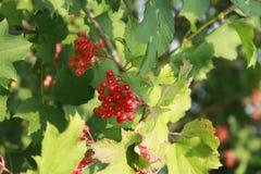 在分支的红色荚莲属的植物莓果,成熟晚夏 免版税库存图片