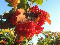 在分支的红色莓果与叶子 免版税库存图片