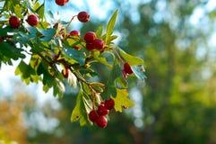 在分支的红色莓果与山楂树绿色叶子  免版税库存图片