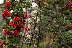 在分支的红色莓果 库存图片