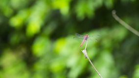 在分支的红色蜻蜓 股票视频