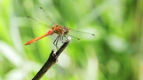在分支的红色蜻蜓 影视素材