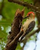 在分支的红鼓起的啄木鸟 库存图片