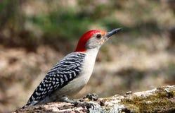 在分支的红鼓起的啄木鸟 免版税库存图片