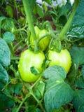 在分支的绿色蕃茄 库存图片