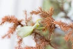 在分支的绿色螳螂 库存图片